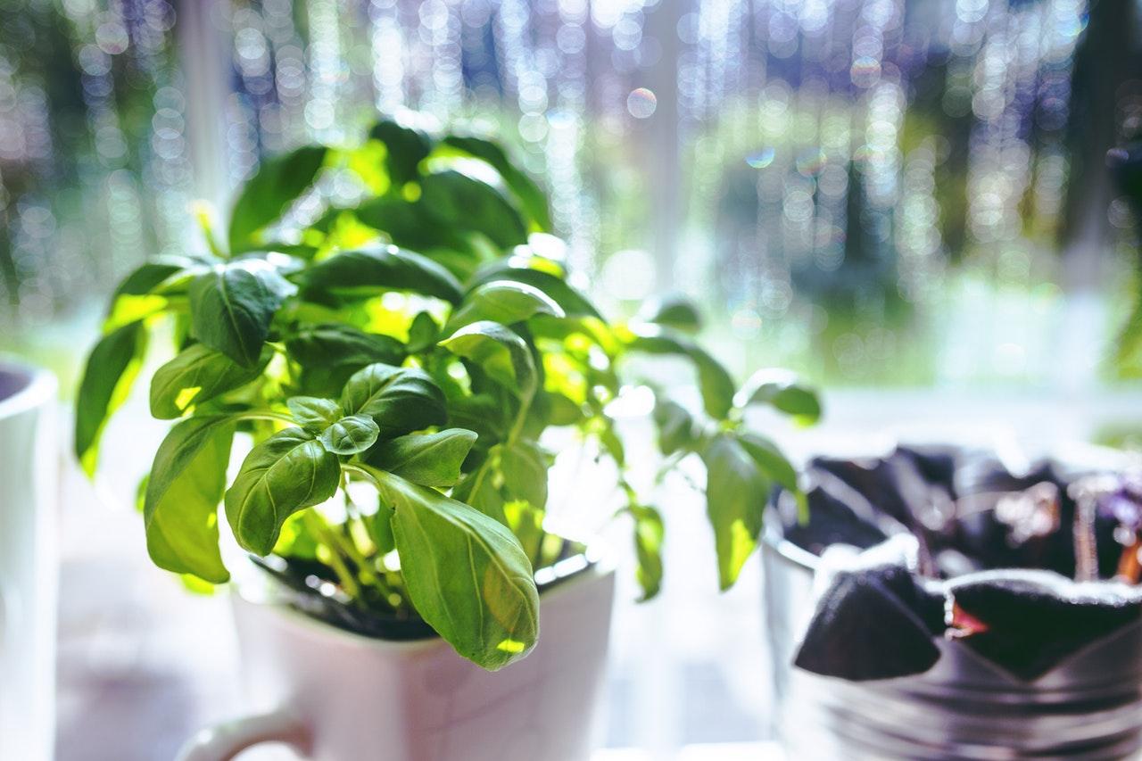 manfaat daun kemangi